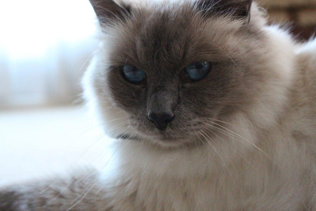 Amazing blue-eyed Birman cat