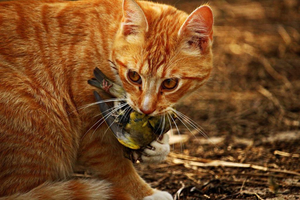 Ginger cat has just caught a bird