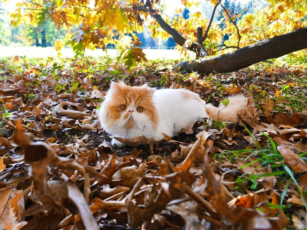 White and ginger Persian cat