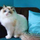 pics-of-ragdoll-cats