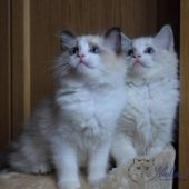 pictures-of-ragdoll-cats