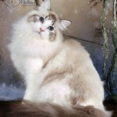 ragdoll-cat-images