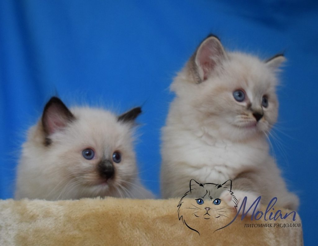Pictures of two amazing Ragdoll kittens