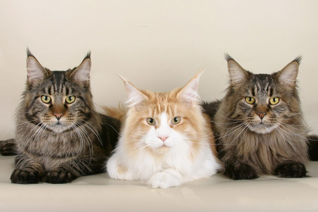Three lying Maine Coons of different colours