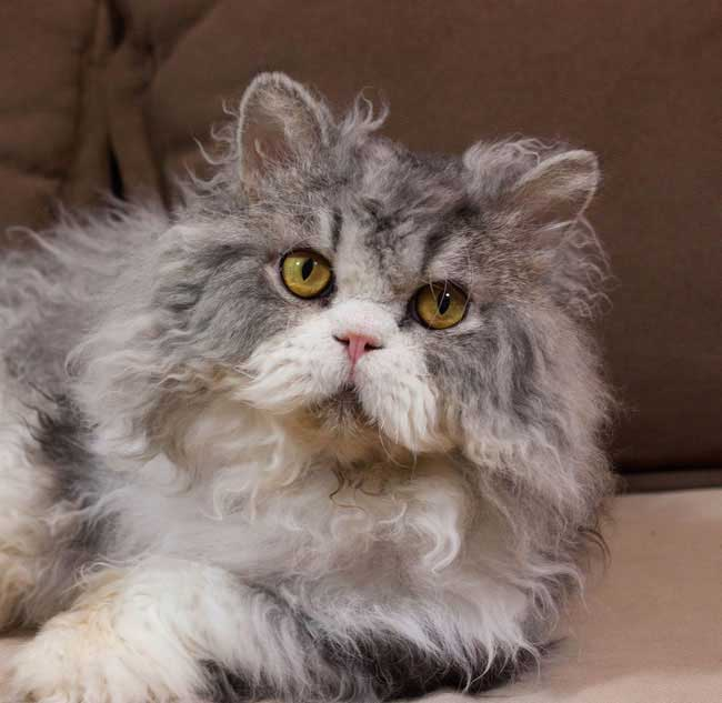 curly coated selkirk rex