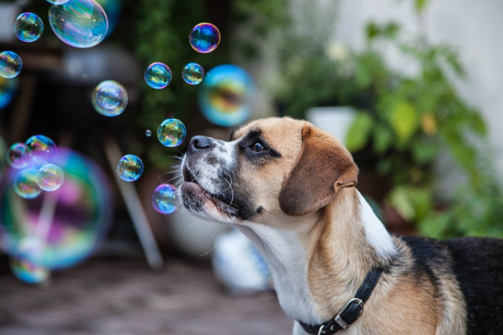 The photo of the dog Emil who is lookng at soap bubbles