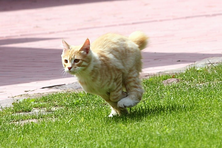 Ginger bobtail cat that is running