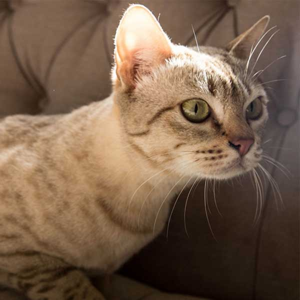 Astralian mist adult cat