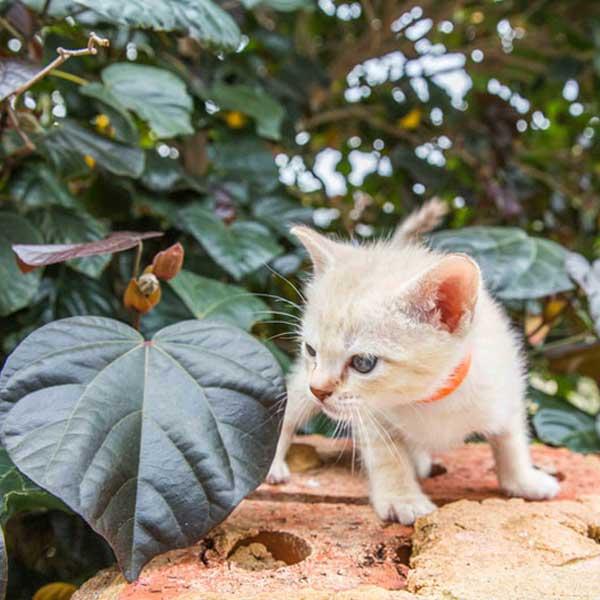 Austalian Mist wihite kitten